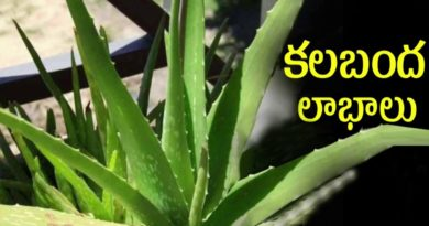 health benefits Of Aloe Vera, Aloe vera Benefits, Aloe Vera Juice Benefits, Aloe Vera Benefits for Skin, aloe vera uses in telugu, aloe vera uses and benefits, Mana Telugu Nela, aloe vera benefits, kalabanda juice uses in telugu, kalabanda uses in telugu,